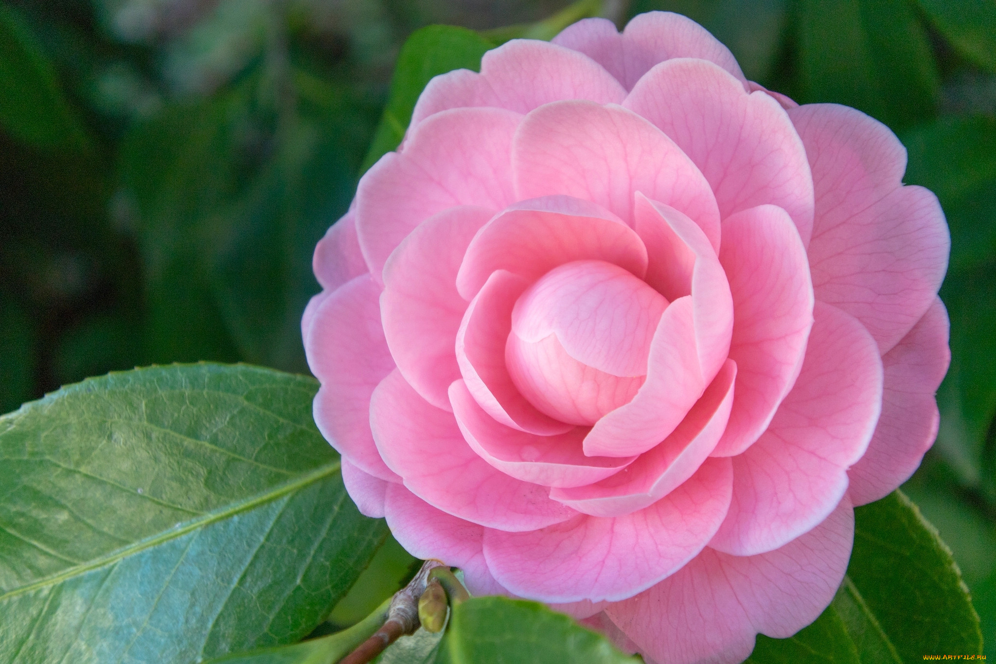 Фото цветка герань обзор